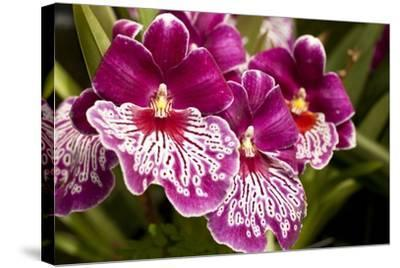 Purple Butterfly Orchids-Richard T. Nowitz-Stretched Canvas Print