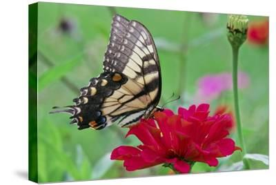 Swallowtail Butterfly Resting on Flower Bud-Gary Carter-Stretched Canvas Print