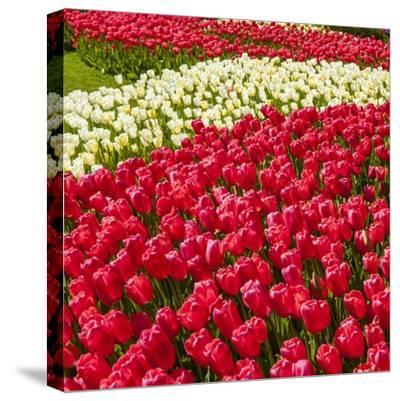 Red Tulip in Bloom-Richard T. Nowitz-Stretched Canvas Print