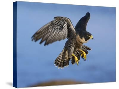 Peregrine Falcon in Flight-W^ Perry Conway-Stretched Canvas Print