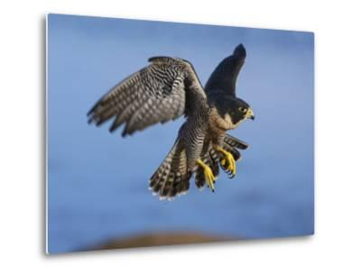 Peregrine Falcon in Flight-W^ Perry Conway-Metal Print