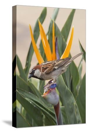 House Sparrow on Bird of Paradise-Hal Beral-Stretched Canvas Print