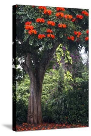 African Tulip Tree Growing on Oahu Island-Terry Eggers-Stretched Canvas Print