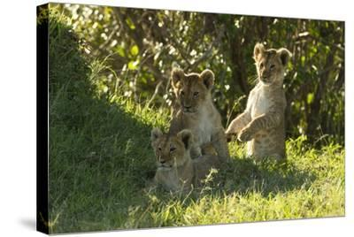Africa Lion Cubs Playing-Mary Ann McDonald-Stretched Canvas Print
