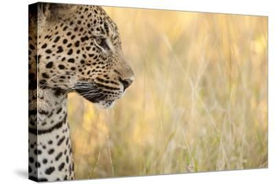 African Leopard-Michele Westmorland-Stretched Canvas Print