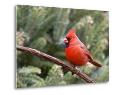 Northern Cardinal Perching on Branch, Mcleansville, North Carolina, USA-Gary Carter-Metal Print