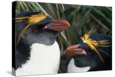 Pair of Nesting Macaroni Penguins-W^ Perry Conway-Stretched Canvas Print