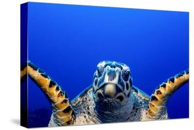 Green Turtle (Chelonia Mydas)-Stephen Frink-Stretched Canvas Print