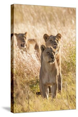 African Lionesses-Michele Westmorland-Stretched Canvas Print