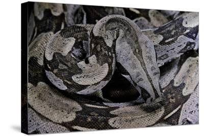 Boa Constrictor Constrictor-Paul Starosta-Stretched Canvas Print