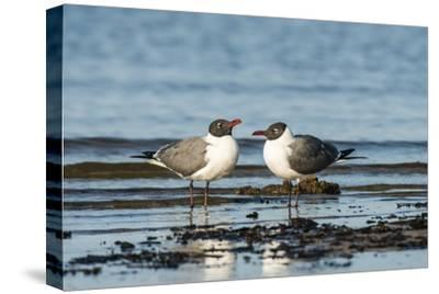 View of Laughing Gull Standing in Water-Gary Carter-Stretched Canvas Print