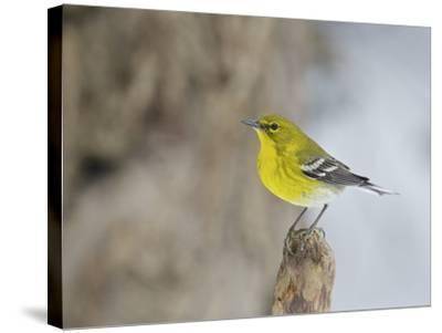 Pine Warbler-Gary Carter-Stretched Canvas Print