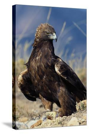 Golden Eagle Clutching Rabbit Kill-W^ Perry Conway-Stretched Canvas Print