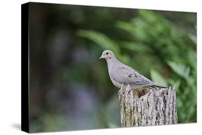 Mourning Dove-Gary Carter-Stretched Canvas Print