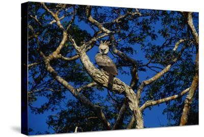 Young Harpy Eagle Perched in Tree-W^ Perry Conway-Stretched Canvas Print
