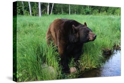Black Bear-W^ Perry Conway-Stretched Canvas Print