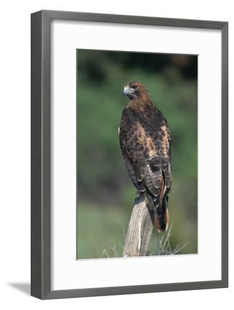 Red-Tailed Hawk Perches on Post-W^ Perry Conway-Framed Premium Photographic Print