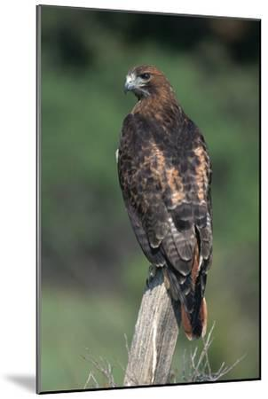 Red-Tailed Hawk Perches on Post-W^ Perry Conway-Mounted Premium Photographic Print