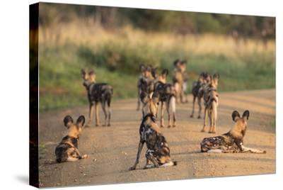 African Wild Dogs (Lycaon Pictus), Madikwe Game Reserve, North West Province, South Africa, Africa-Ann and Steve Toon-Stretched Canvas Print
