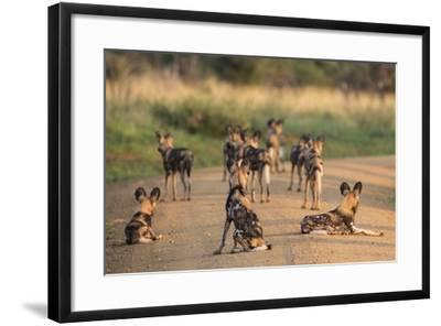 African Wild Dogs (Lycaon Pictus), Madikwe Game Reserve, North West Province, South Africa, Africa-Ann and Steve Toon-Framed Photographic Print