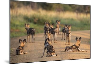 African Wild Dogs (Lycaon Pictus), Madikwe Game Reserve, North West Province, South Africa, Africa-Ann and Steve Toon-Mounted Photographic Print