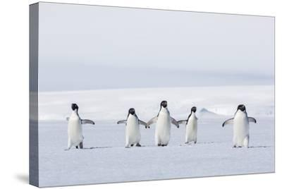 Adult Adelie Penguins (Pygoscelis Adeliae) Walking on First Year Sea Ice in Active Sound-Michael Nolan-Stretched Canvas Print