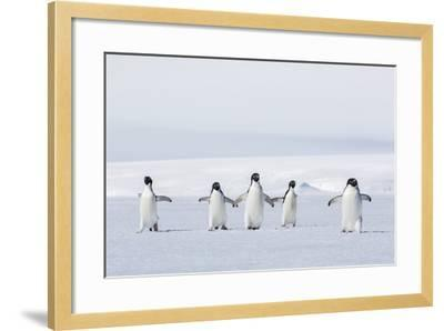 Adult Adelie Penguins (Pygoscelis Adeliae) Walking on First Year Sea Ice in Active Sound-Michael Nolan-Framed Photographic Print