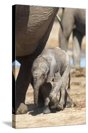 Elephants (Loxodonta Africana) New-Born, Addo Elephant National Park, South Africa, Africa-Ann and Steve Toon-Stretched Canvas Print