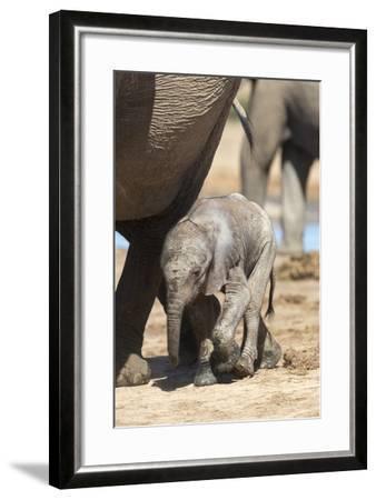Elephants (Loxodonta Africana) New-Born, Addo Elephant National Park, South Africa, Africa-Ann and Steve Toon-Framed Photographic Print