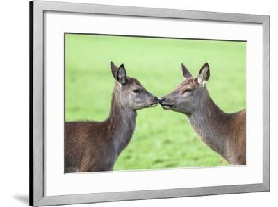 Red Deer Hind with Young (Cervus Elaphus), Arran, Scotland, United Kingdom, Europe-Ann and Steve Toon-Framed Photographic Print