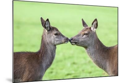 Red Deer Hind with Young (Cervus Elaphus), Arran, Scotland, United Kingdom, Europe-Ann and Steve Toon-Mounted Photographic Print