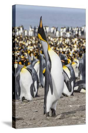 King Penguin (Aptenodytes Patagonicus) Breeding Colony at St. Andrews Bay-Michael Nolan-Stretched Canvas Print