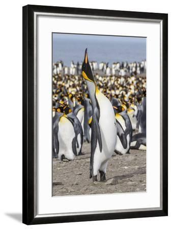 King Penguin (Aptenodytes Patagonicus) Breeding Colony at St. Andrews Bay-Michael Nolan-Framed Photographic Print