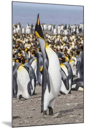 King Penguin (Aptenodytes Patagonicus) Breeding Colony at St. Andrews Bay-Michael Nolan-Mounted Photographic Print