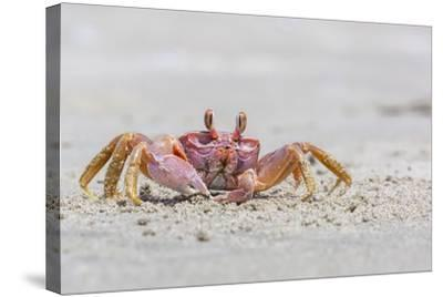 Adult Gulf Ghost Crab (Hoplocypode Occidentalis) on Sand Dollar Beach-Michael Nolan-Stretched Canvas Print