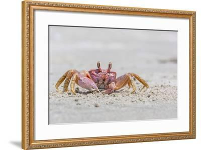 Adult Gulf Ghost Crab (Hoplocypode Occidentalis) on Sand Dollar Beach-Michael Nolan-Framed Photographic Print