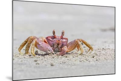 Adult Gulf Ghost Crab (Hoplocypode Occidentalis) on Sand Dollar Beach-Michael Nolan-Mounted Photographic Print