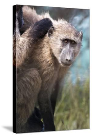 Chacma Baboon (Papio Ursinus), Cape of Good Hope, Table Mountain National Park-Kimberly Walker-Stretched Canvas Print