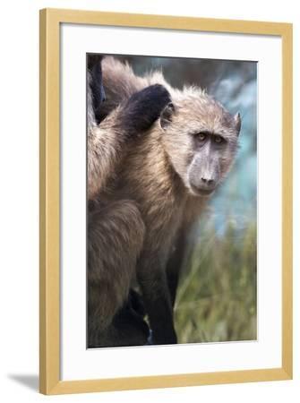 Chacma Baboon (Papio Ursinus), Cape of Good Hope, Table Mountain National Park-Kimberly Walker-Framed Photographic Print