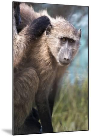 Chacma Baboon (Papio Ursinus), Cape of Good Hope, Table Mountain National Park-Kimberly Walker-Mounted Photographic Print