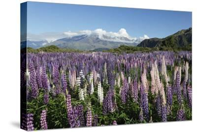 Field of Lupins Along Beacon Point Road, Wanaka, Otago, South Island, New Zealand, Pacific-Stuart Black-Stretched Canvas Print