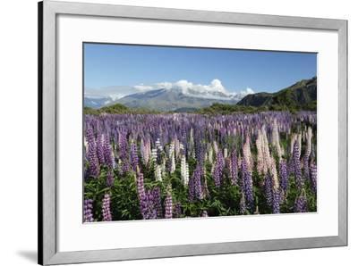 Field of Lupins Along Beacon Point Road, Wanaka, Otago, South Island, New Zealand, Pacific-Stuart Black-Framed Photographic Print