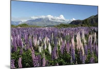 Field of Lupins Along Beacon Point Road, Wanaka, Otago, South Island, New Zealand, Pacific-Stuart Black-Mounted Photographic Print