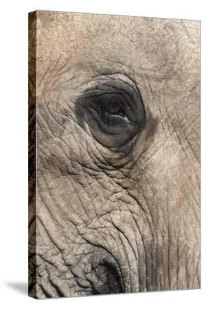 African Elephant Eye (Loxodonta Africana), Addo Elephant National Park, South Africa, Africa-Ann and Steve Toon-Stretched Canvas Print