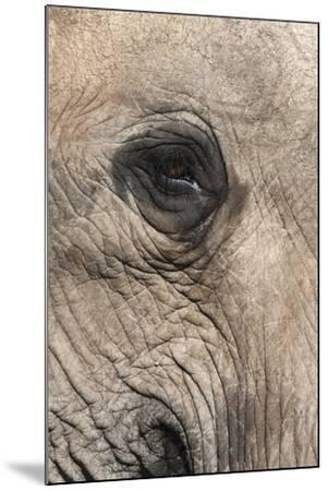 African Elephant Eye (Loxodonta Africana), Addo Elephant National Park, South Africa, Africa-Ann and Steve Toon-Mounted Photographic Print