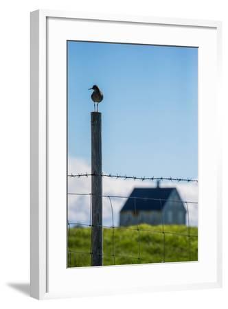 Redshank (Tringa Totanus), Flatey Island, Breidafjordur, Iceland--Framed Photographic Print