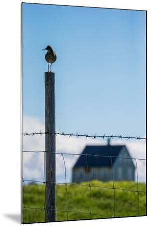 Redshank (Tringa Totanus), Flatey Island, Breidafjordur, Iceland--Mounted Photographic Print