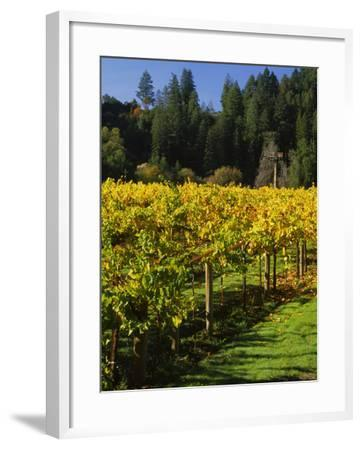 Vineyard, Russian River Valley, Sonoma, California, USA--Framed Photographic Print