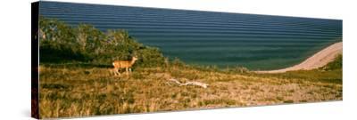 Deer at Waterton Lake, Waterton Lakes National Park, Alberta, Canada--Stretched Canvas Print
