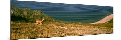 Deer at Waterton Lake, Waterton Lakes National Park, Alberta, Canada--Mounted Photographic Print